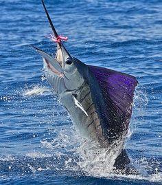 Sailfish on the fly... Incredible sailfish shots by photographer Pat Ford.