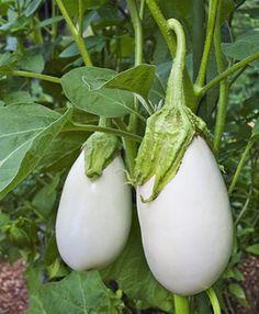 Eggplant : Bonnie Plants Cloud Nine Eggplant - Cloud Nine White Eggplant