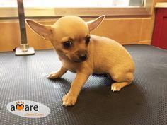 Chihuahua macho disponible. Tlf. 626.54.54.75