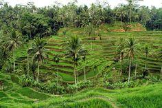 Arrozales en Ubud - Bali - Angel Manso One Image, Ubud, Bali, Vineyard, Angel, Outdoor, Scenery, Outdoors, Vine Yard