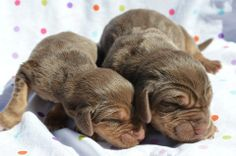 bloodhound pups, 3 days old <3  PedigreeBloodhounds.com