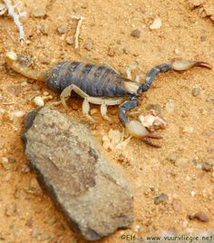 South African Scorpion | Spiders and Scorpions | Seamus' Photo Blog