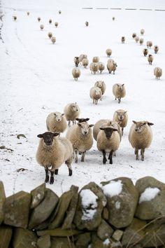 Sheep. <3 by TheBellJar.nl