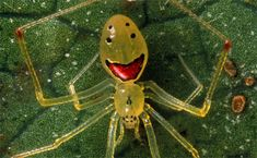 These Happy Face spiders are so cute! I wrote a blog post about them: http://stuff-you-learn-from-the-internet.blogspot.com/2014/04/spiders-can-make-you-smile-shocking.html