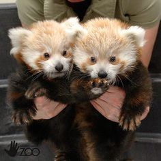 Baby Red Panda Twins at Lincoln Children's Zoo