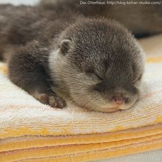Sleeping baby otter