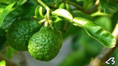 Combava - petit agrume utilisé dans la cuisine réunionnaise, notamment pour les accompagnements et avec le poisson - Photo de Sabrina Sem. A sur Google +