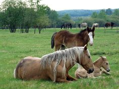Mommy and baby horses laying down, brown horse visiting | Flickr ...