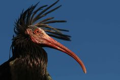 Portrait of a northern bald ibis. Photo by: Waldrappteam. Exotic Birds, Colorful Birds, Shorebirds, Birds 2, Tentacle, Bird Feathers, Beautiful Birds, Beautiful Creatures, Labyrinth