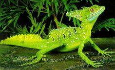 Basiliscus plumifrons Les Reptiles, Cute Reptiles, Reptiles And Amphibians, Mammals, Wild Creatures, Cute Creatures, Land Turtles, Chameleon Lizard, Paludarium
