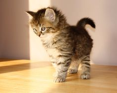 Siberian kittens - so totally adorable!