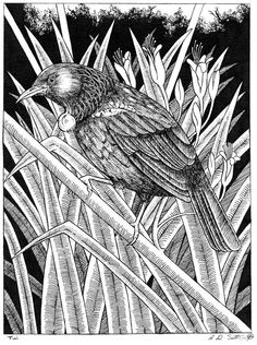 Ink pen on paper drawing of a native New Zealand Tui bird. Landscape, abstract and nude artwork and prints for sale. Art Maori, Tui Bird, Nz Art, Kiwiana, Paper Drawing, Tribal Art, Prints For Sale, Tattoo Inspiration, I Tattoo