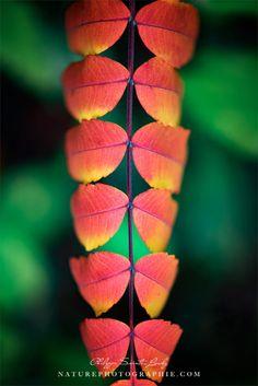 Photos de feuilles de vinaigrier en automne. Mon Nikon ne me quitte plus et je ne quitte plus mon Nikon, c'est une histoire d'amour ;) Plus de photos d'automne!