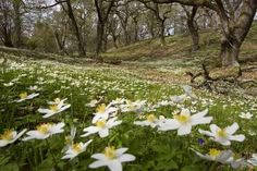 Wood Anemone, Scotland Uk, Anemones, Time To Celebrate, Cool Posters, Prints For Sale, Custom Framing, Woodland, Pine