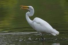 Great Egret | Endless Wildlife