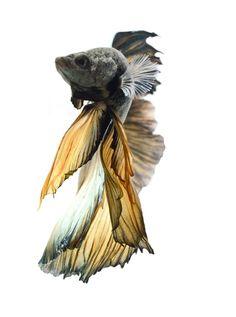 Golden betta fish fins