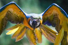 Macaw Head On