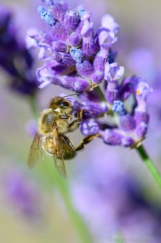 Mein Sommersonntagsmotiv: Biene an Lavendel. Bee, Sunday, Summer, Animals, Advertising Photography, Product Photography, Lavender, Landscape, Nature