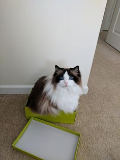 If I fits I sits! My Pretty Ragdoll