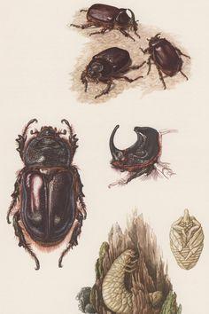 1957 Scarab Beetle Antique Print, Insects, Offset Lithograph, Entomology, Scarabaeidae, European Rhinoceros Beetles, Oryctes nasicornis