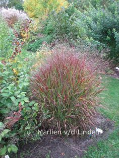 Panicum virgatum 'Shenandoah' | 125 cm - 5 per m2 | 9-10/7-9 | Groen gras met rode toppen en mooie rode herfstkleur. Sierlijk/elegant. Ook als solitair. | Zon, normale grond. #herfstkleur Garden Plants Design, Patio Garden, Plants, Grasses Garden, Plant Design, Perennials, Shrubs, Rock Garden, Garden Plants