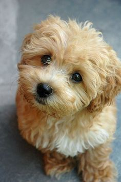 Maltipoo. I saw one of these at the pet store today and I need her!!!!!! =[[