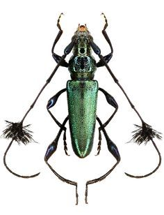 Cosmisoma (this is definutel proof positive thst God had a sense of humor)… - World of Animals Beetle Insect, Beetle Bug, Insect Art, Cool Insects, Bugs And Insects, Beautiful Bugs, Amazing Nature, Mantis Religiosa, Longhorn Beetle