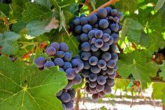 A uva Barbera (Foto: reprodução/internet)