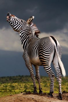 "A Zebra ~ With Her Nose in The Air!"" (Photo By:Michael Sheridan.)"