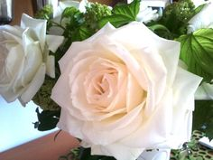 Alaska Rose.   This white rose blows fully open quickly and then holds in that…