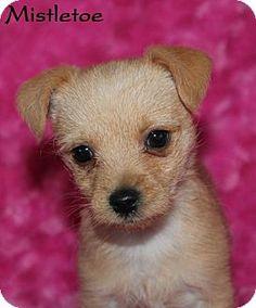 Phelan, CA - Poodle (Miniature)/Chihuahua Mix. Meet Mistletoe, a puppy for adoption. http://www.adoptapet.com/pet/14639459-phelan-california-poodle-miniature-mix