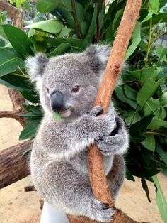 Baby koala from Toranga Zoo