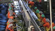 Parliamo di Aloe vera Gel come viene estratto il gel dalle foglie e con un brevetto mondiale viene stabilizzata togliendo l'Aloina