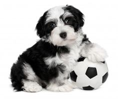 Havanese Puppy: More about the Havanese at http://smalldogplace/havanese-dog.html