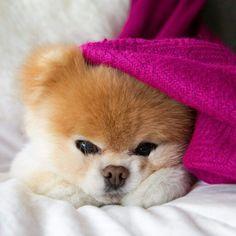 Boo the Pomeranian ♡