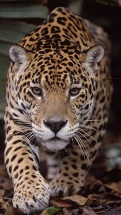the jaguar is a big cat a feline in the panthera genus and is the only . Animals Images, Nature Animals, Animals And Pets, Cute Animals, Beautiful Cats, Animals Beautiful, Jaguar Tier, Jaguar Animal, Gato Grande