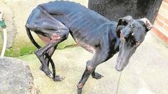 Justice For Mistreated Dog Abandoned In Madrid Severely Injured And Emaciated! Demand Punishment For The Owner!
