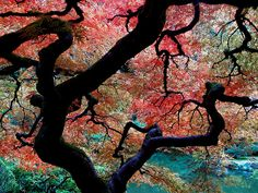 Under the Japanese Maple by i5prof