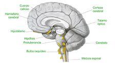 El bulbo raquídeo es una de las partes del tronco del encé´falo más oimportantes, ya que se encarga de mantener en funcionamiento las constantes vitales.