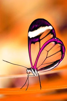 Translucent butterfly. butterfly. pretty bugs. pretty colors. color blocking.