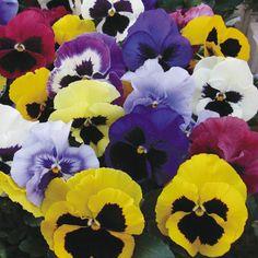 PENSAMIENTO GIGANTE SUIZO colores 60 Semillas Seeds