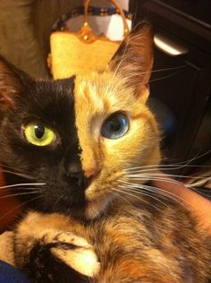 WOW! This is Venus, a three year old chimera cat. Chimera cat is one individual organism, but genetically its own fraternal twin. A chimera is typically formed from four parent cells (either two fertilized eggs, or two early embryos that have fused together). When the organism forms, the cells that had already begun to develop in the separate embryos keep their original phenotypes and appearances. This means that the resulting animal is a mixture of tissues and can look like this gorgeous  kitty