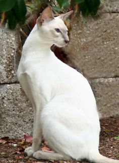 Most current Absolutely Free siamese cats lilac Popular Siamese cats and kittens are the best better known for their clean, wind resistant figures, steamy jackets an Cute Cats And Kittens, Cool Cats, I Love Cats, Oriental Shorthair Cats, Youtube Cats, Oriental Cat, Rare Cats, Warrior Cats, Siamese Cats