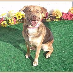 Marietta, Georgia - German Shepherd Dog. Meet SNICKERS, a for adoption. https://www.adoptapet.com/pet/19961354-marietta-georgia-german-shepherd-dog-mix