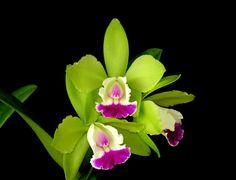 Resultado de imágenes de Google para http://www.gardenislandorchidsociety.org/images/photo%252016%2520green%2520pink%2520mini.jpg