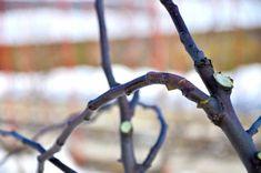 Cum se face altoirea cu ramură detașată, sub scoarța terminală Fruit Trees, Grape Vines, Organic, Paradis, Gardening, Cottages, Terrariums, Agriculture, Plant