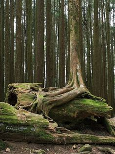 Roots over fallen tree. Photography by Bryan Hsieh Roots over fallen tree. Photography by Bryan Hsieh Unique Trees, Old Trees, Tree Roots, Tree Photography, Nature Tree, Nature Nature, Tree Forest, Forest City, Autumn Trees