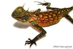 mountain horned lizard | horned mountain lizard - Google Search | Favorite Places & Spaces | P ...