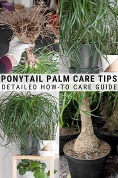 All about how to care for a ponytail palm plant including the conditions it needs to thrive how to propagate it and more! All about how to care for a ponytail palm plant including the conditions it needs to thrive how to propagate it and more! Palm House Plants, House Plants Decor, Plant Decor, Palm Plants, Ponytail Palm Care, Ponytail Plant, Yucca Plant, Pothos Plant, Palm Tree Care