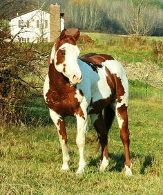 Image result for paint horses